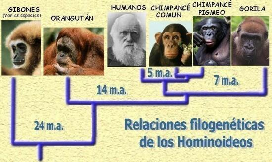 -arbol-filogenético-hominoideo